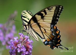 eastern-tiger-swallowtail-butterfly-karen-adams